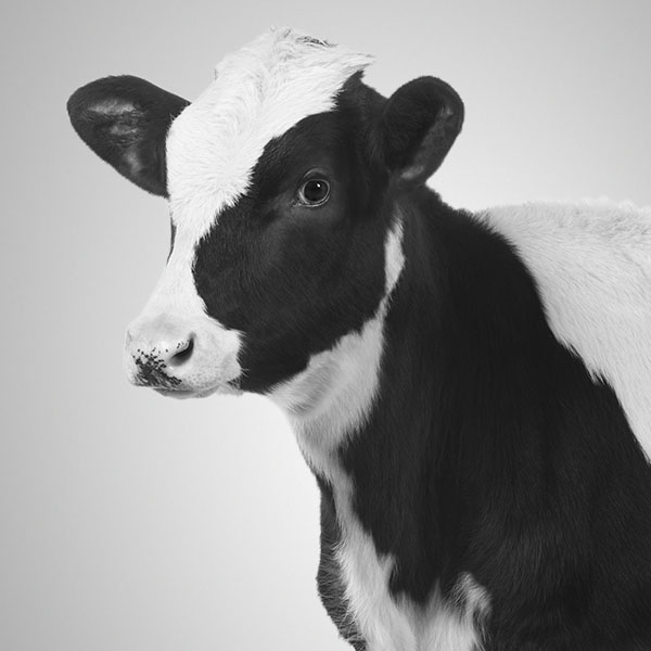 Smiling cow.