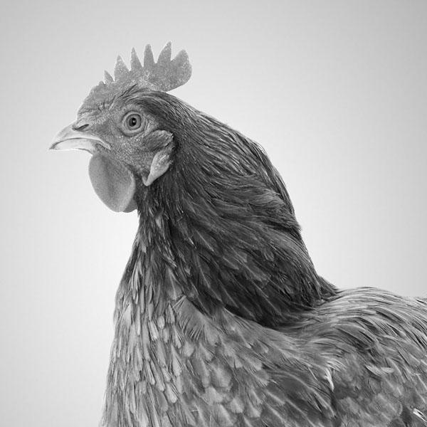 Smiling chicken.