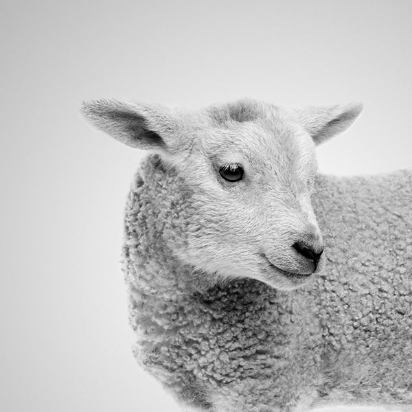 Smiling sheep.