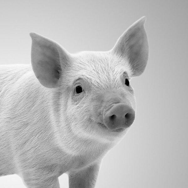 Smiling pig.